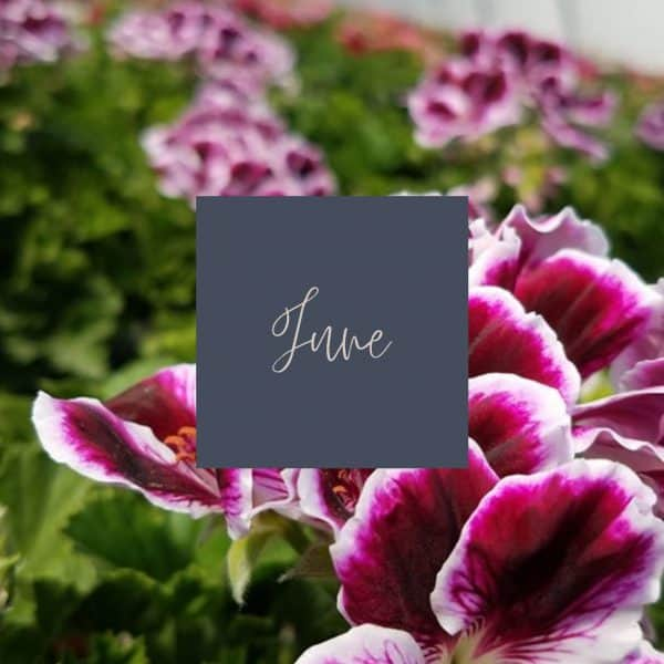 Purple centered, white edged geranium blooms with June written in the middle and a link to June plant care