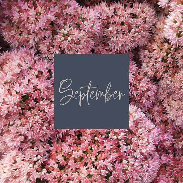 Sedum blooms in shades of pink with September written in the middle and a link to September plant care