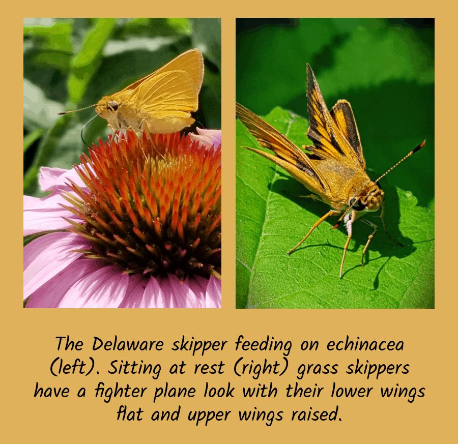 Delaware skipper butterflies