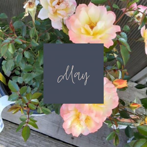 White and blush rose blooms with May written in the middle with a link to May plant care