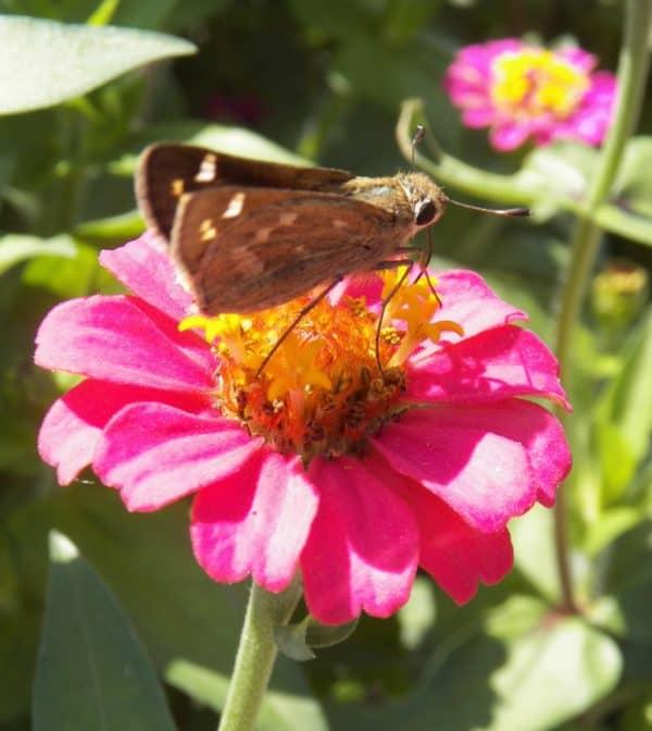 Meet the Pollinators : Skipper Butterflies