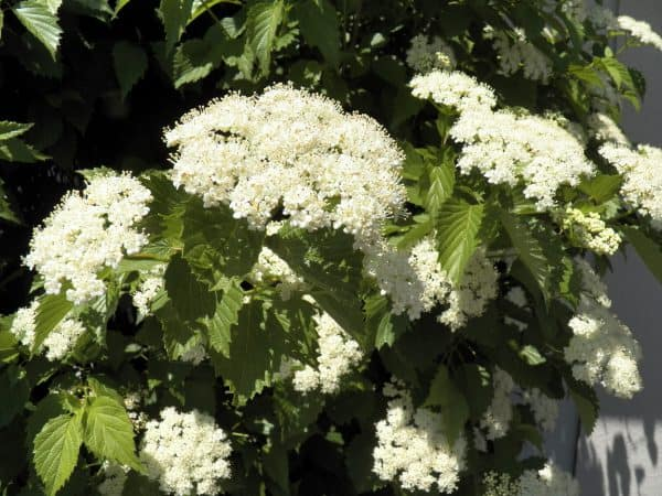 Viburnums – The Gardener's Must-Have Plant