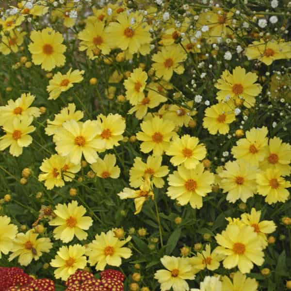 Full Moon Coreopsis – Gallon Container