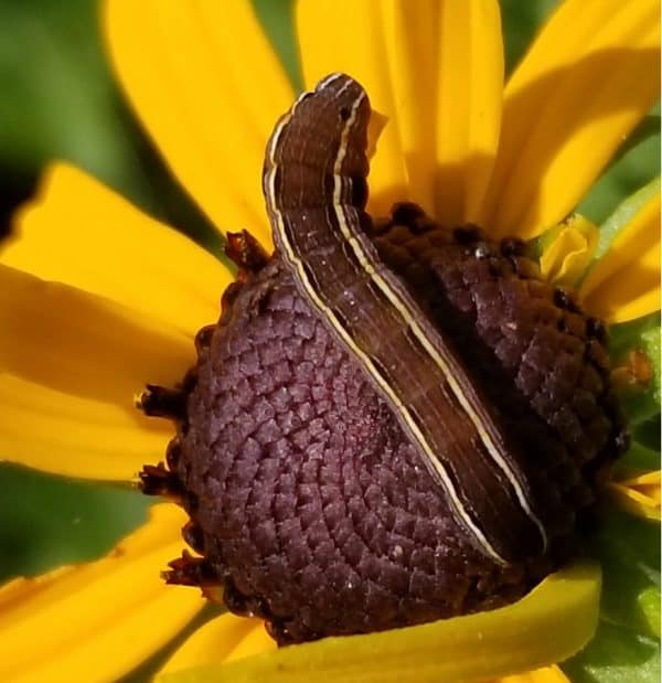 Armyworms in the Garden