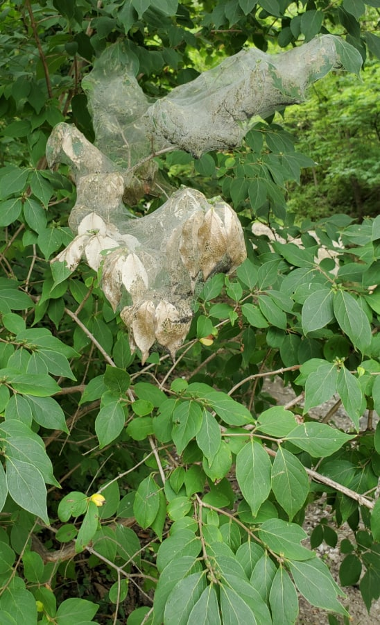 fall webworms on honeysuckle