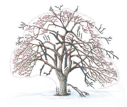simple apple tree pruning guide