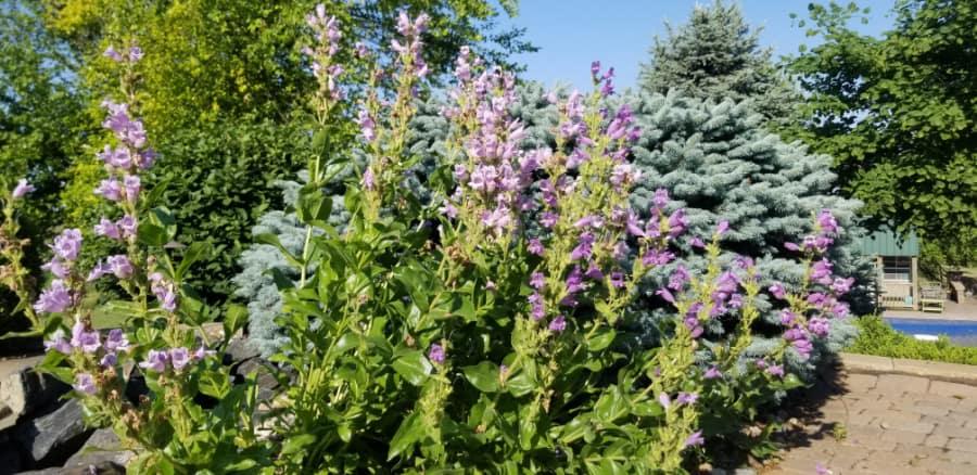Native plants in the landscape (showy penstemon)