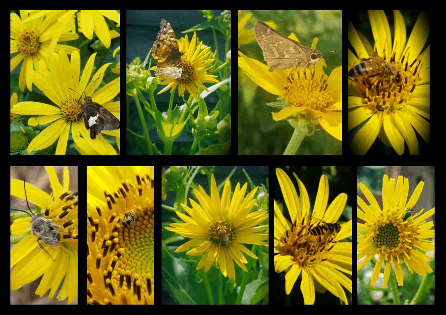 pollinators of silphiums
