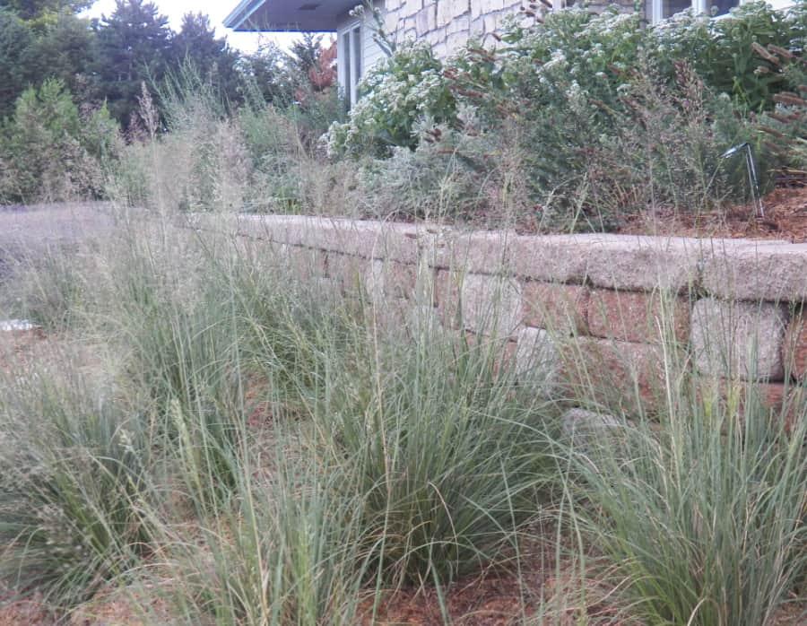 prairie dropseed native grass
