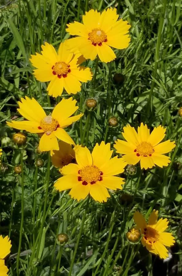 bigflower coreopsis