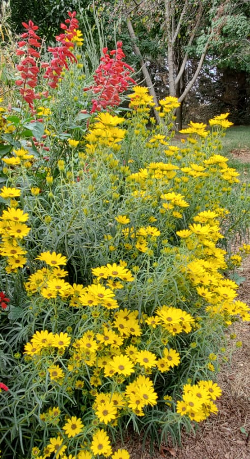 willowleaf sunflower 'Autumn Gold'