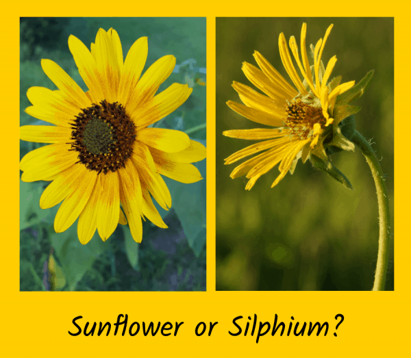 Sunflowers or Silphiums – Plant Look-A-Likes