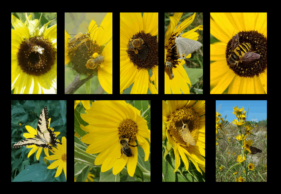 pollinators of sunflowers
