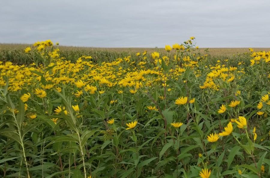 Tuberous sunflower